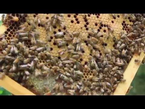 Honey Bee Colony