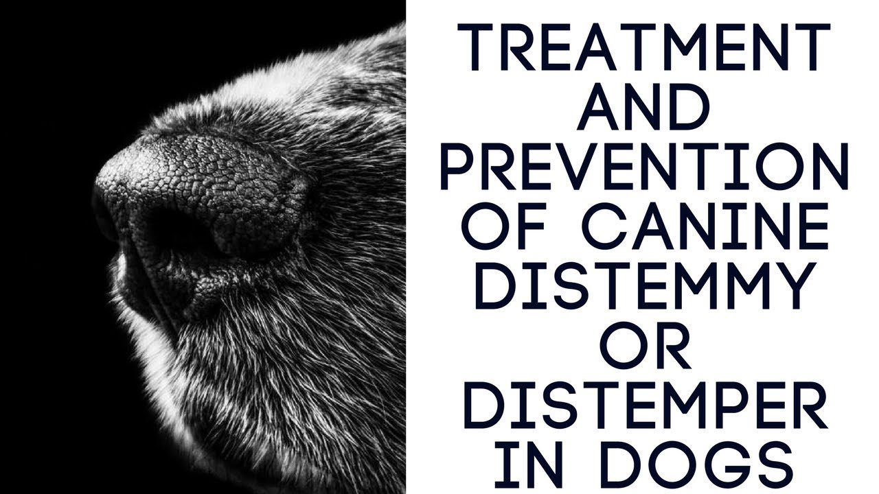 Canine distemper: the first signs and prevention of treatment