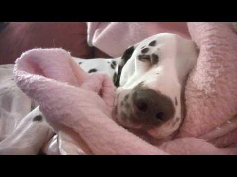 Dalmatian dog is sleeping