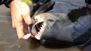 PIRANHA PACU FISH MONSTER CAUGHT in Small FLORIDA POND!
