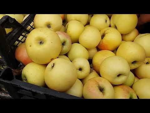Зимние сорта яблок. Собираем урожай вовремя. Сьемная зрелость.