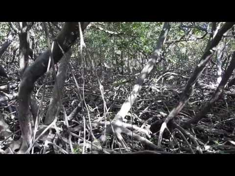 Canopy aerial and stilt roots Mangroves of Aruba