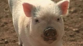 Piglets as organ donors for humans?