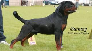 My Rottweiler / One Year In Pictures