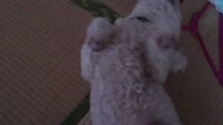 うちの犬ぷり子(プーリー犬)はお腹をさすると後ろ足をがしがしします。