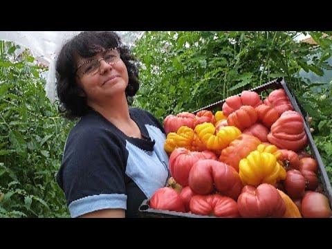 Купите эти семена томатов и будете собирать урожай без остановки