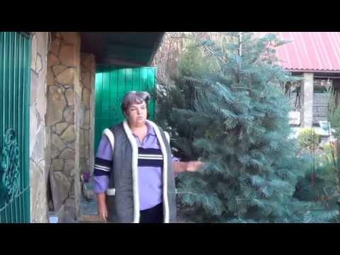 Вопрос: Пихта это хвойное дерево или лиственное, у нее ведь иглы мягкие?