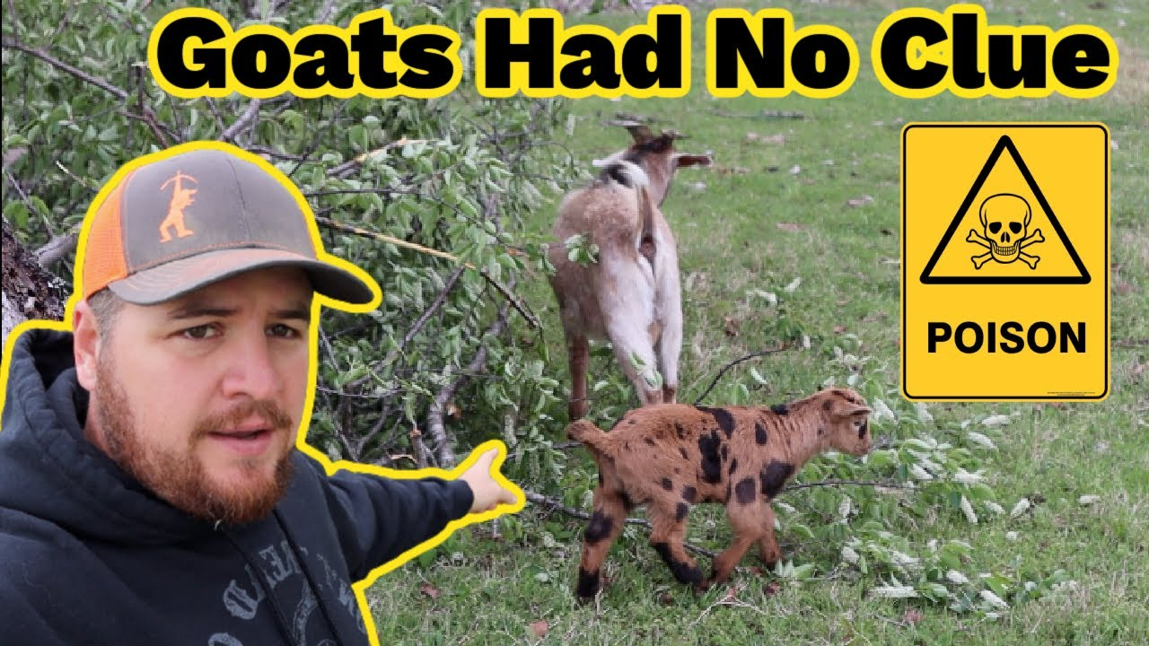 The Goats Could've Been Poisoned | We Don't Want To Go Through This Again!