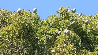 West Indies Mahogany Swietenia mahagoni