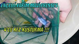 Engelli mavi prenses balığı kusturma ,akvaryum ciklet balığı yavrulama,l Chewing gum fish (birth)