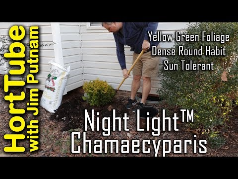 Night Light™ Chamaecyparis - Beautiful Year Round Interest Shrub
