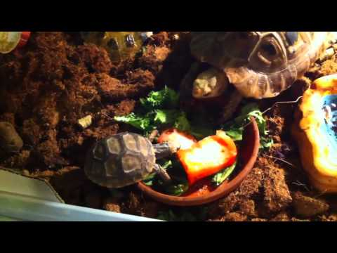 My yellow foot and elongated tortoises eating