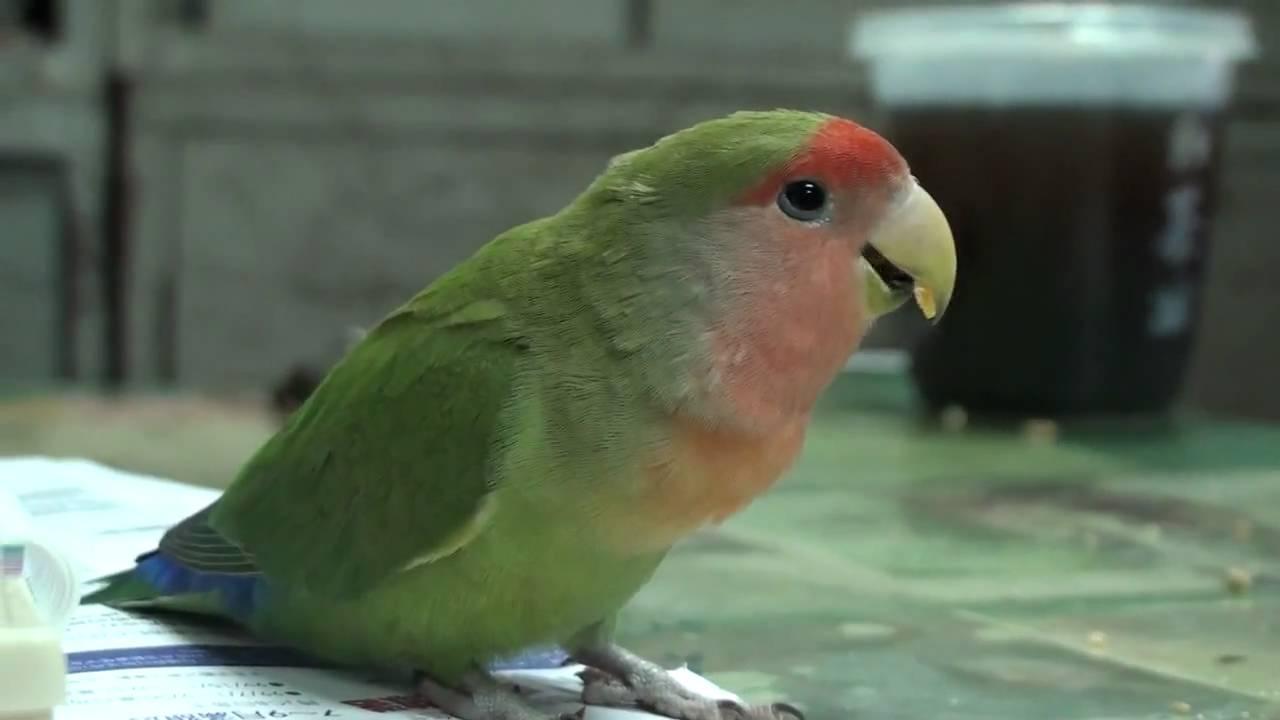 小鸚鵡不請自來 - YouTube