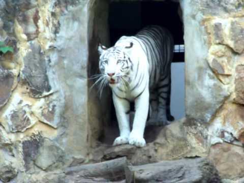 Zoo Cali Cachorros tigre