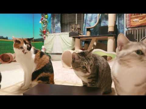 2017.12.24 猫部屋ライブ映像   Cats & Kittens room 【Miaou みゃう】