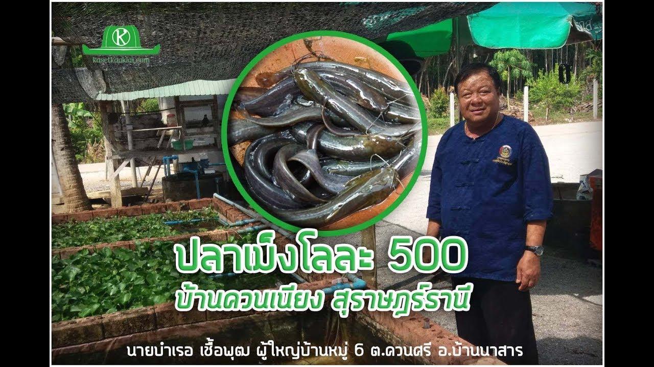 ผู้ใหญ่บ้านเลี้ยงปลาเม็ง(ปลาจีด) กิโลละ 500 ใครอยากรู้มาเลย