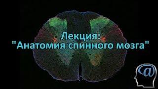 Анатомия спинного мозга. Лекция.