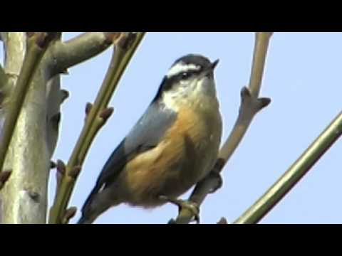 Red-breasted Nuthatch Fast Call