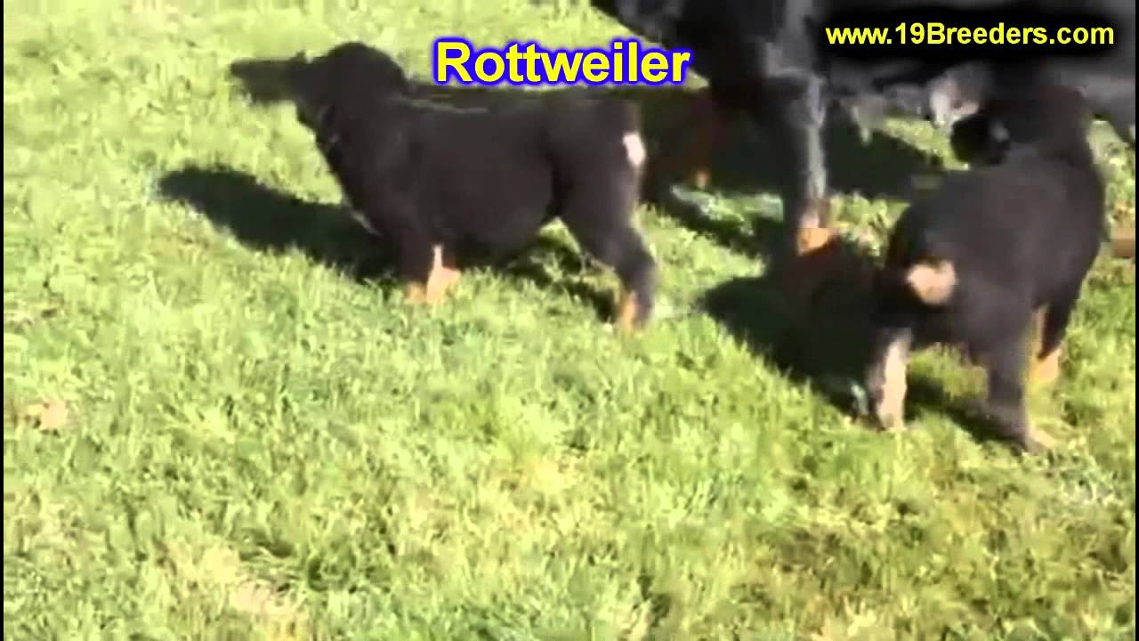 Rottwieler Puppies For Sale In Hartford Connecticut County