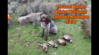 Pheasant Hunting with German Wire-haired Pointer