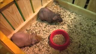 видео Купить комнатных животных и птицу в Воронеже