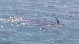 Bottlenose Dolphins in Shimoni - Kenya