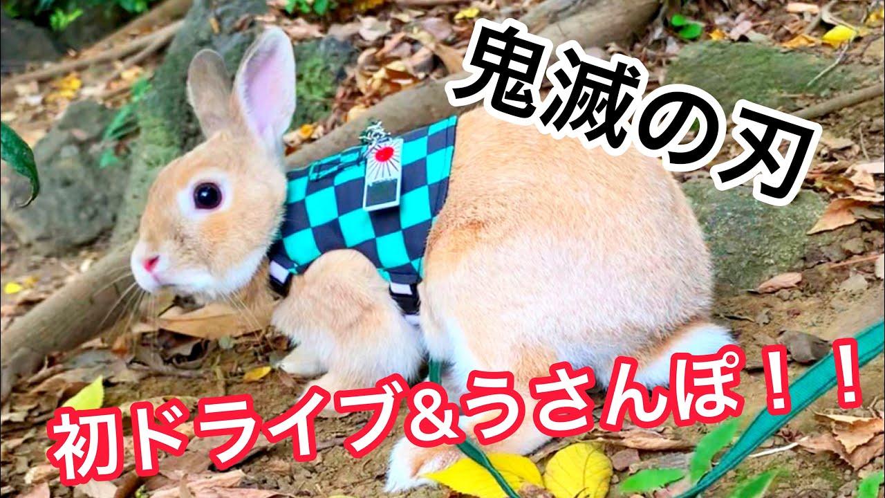 鬼滅の刃の無限列車編が興行収入200億超!柱を目指してネザーランドのうさぎが炭治郎コスプレで初ドライブ&うさんぽ Netherlands dwarves bunny Kimetsu no Yaiba