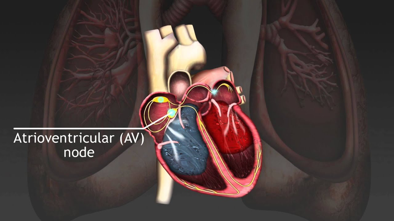 How The Cardiac Cycle Is Produced By Electrical Impulses In The