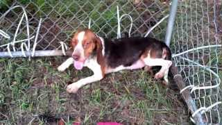 'missy' Malnourished Beagle Rescued In Clinton, Nc For Adoption