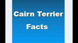 Cairn Terrier Facts   Facts About Cairn Terriers