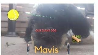 our beast dog mavis