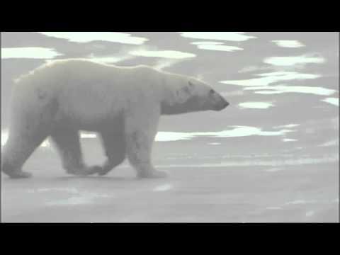 Explorer: Polar Bears Will 'actively Hunt Man'