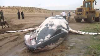 بالفيديو: نفوق سمكة عملاقة بشاطئ تفنيت