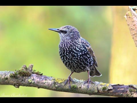 chants et cris de l'étourneau sansonnet HD/ songs & calls common starling