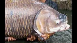 Карп 120 кг.avi