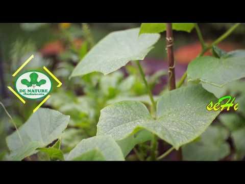 kencing-nanah-sembuh-sendiri-dengan-ramuan-herbal-alam