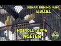 Lomba Kicau Burung Kenari Kontes Kenari Kuning Tanpa Ngetem Kuasai Lapangan Kenari Jawara  Mp3 - Mp4 Download