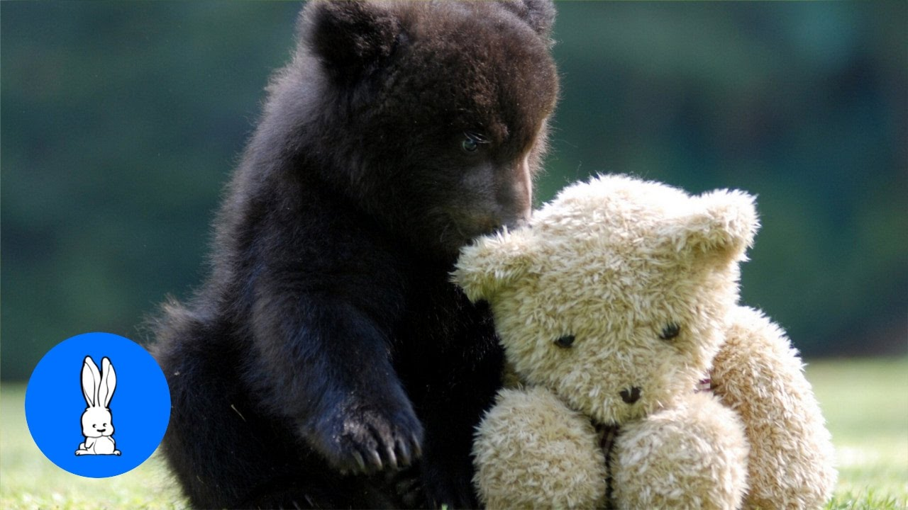 Baby Bear Cubs Playing Cutest Compilation Youtube