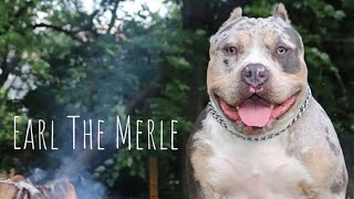 Earl The Merles First Litter/ Bully Meet Up