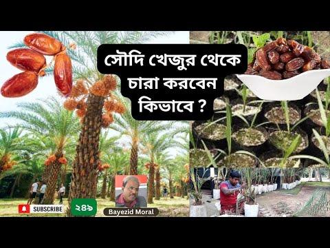 Saudi date farming, বাজার থেকে সৌদি খেজুর কিনে সেই বিচি থেকে চারা তৈরী করার পদ্ধতি, زراعة خورما