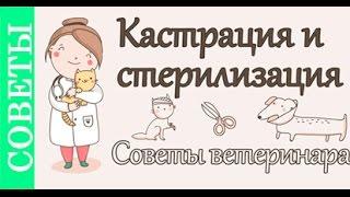 Кастрация и стерилизация, советы ветеринара(Советы по кастрации и стерилизации домашних животных от ветеринарного врача Полины Платоновой. Как, когда..., 2016-01-28T18:54:11.000Z)