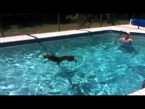 Redbone Coonhound 1st swim in the pool!!!