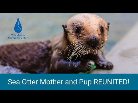 Heartwarming and Rare Sea Otter Pup and Mother Reunion