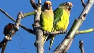 Periquito-rei (Peach-fronted Parakeet) - Aratinga aurea - Capelinha / Angelândia - MG