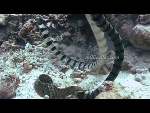 sea snake vs moray eel