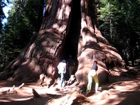 Dentro l 39 albero piu grande del mondo il general sheraman for Statua piu alta del mondo