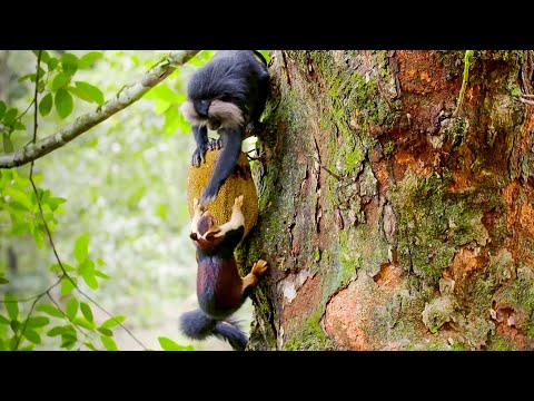 Macaques SLAP Squirrels And Steal Their Food | Primates | BBC Earth