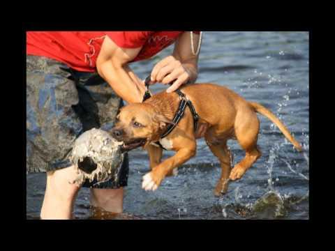 Devon...english staffordshire bull terrier