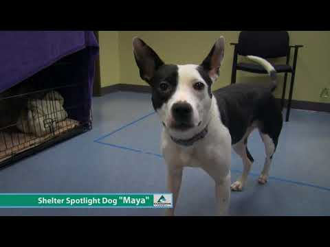 Dog Of The Week: Maya The Border Collie Pit Bull Mix