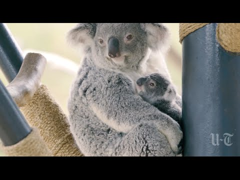 New Koala Joey Emerges From Mother's Pouch | San Diego Union